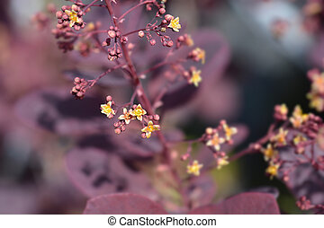 Smoke tree Royal Purple - Latin name - Cotinus coggygria Royal Purple