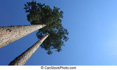 Smooth carvel pines take to sky. Filming along tree trunk