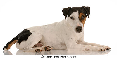 smooth coat tri-colored jack russel terrier laying down