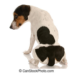 smooth coat tri-colored jack russel terrier with back to viewer and guilty expression