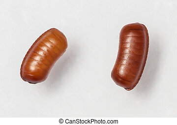 Smooth cockroach - Symploce pallens egg sacks isolated on ...