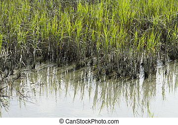 Smooth Cordgrass and Mud In An Inlet - Smooth cordgrass and ...
