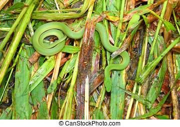 Smooth Green Snake (Opheodrys vernalis) in Illinois...