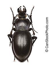 Smooth Ground Beetle on white Background - Carabus glabratus...