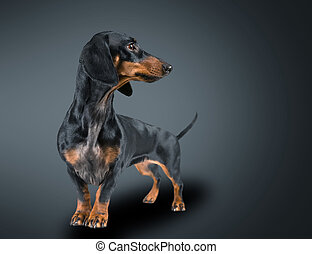 Smooth-haired dachshund dog of black color