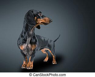 smooth-haired, dachshund
