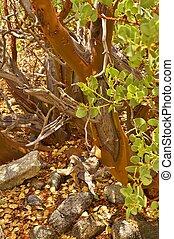 smooth red bark detail Manzanita