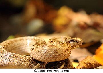 smooth snake ready to strike