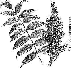 Smooth sumac (Rhus glabra), vintage engraved illustration. Fresh Sumac leaves and berries on white. Trousset encyclopedia (1886 - 1891).
