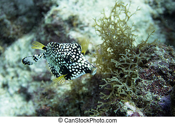 Smooth trunkfish close up - Lactophrys triqueter also known ...