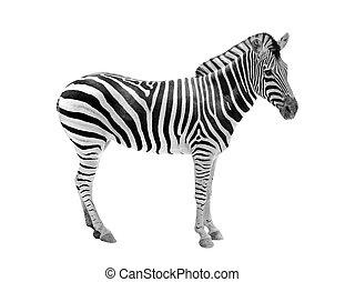 smukke, avisudklippet, beslægtet, zebra, zebra., hest, og, isoleret, sort, dyr, hvid, viser, hver, striber, stribe, mageløs, denne, maske, mønstre, afrikansk, vild, pattedyr