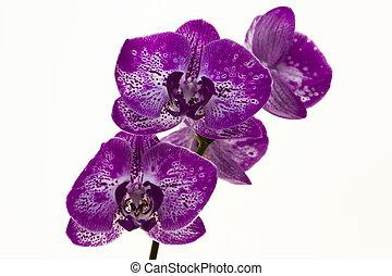 smukke, baggrund., hvid, branch, orkidéer