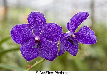 smukke, blomst, purpur, branch, close-up., orkidé