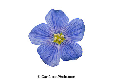 smukke, blomster, i, flax, isoleret