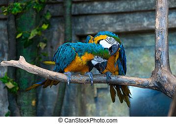 smukke, close-up, papegøje, lyse farver, branch