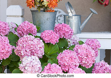 smukke, hydrangea, blomstre