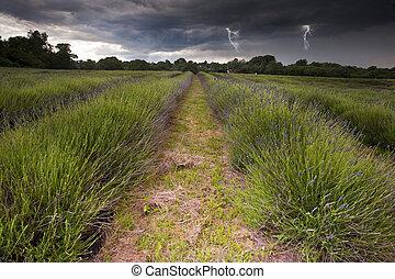 smukke, image, i, tungsindige, dramatiske, storm sky, hen, pulserende, lavendel, felter, ind, countryside, landskab, hos, bolts, i, lightening