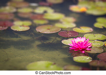 smukke, lyserød blomstr, lotus, dam lilje