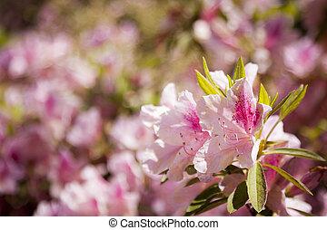 smukke, lyserød blomstrer, blooming, ind, forår