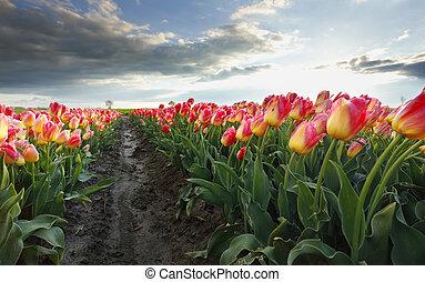 smukke, lyserød, hen, solskin, tulipan, blomster