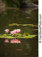 smukke, lyserød, lotus, dam, blomster, lilje