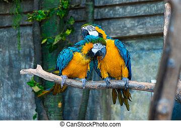 smukke, macaw, gul, papegøjer, branch, par