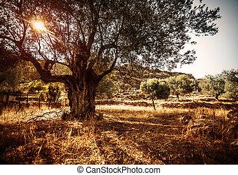 smukke, oliven træ