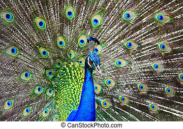 smukke, påfugl, grønne