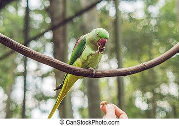 smukke, papegøje, siddende, stort træ, branch