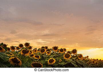 smukke, solsikke, hen, himmel, gul, solnedgang, field.