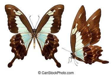 smukke, sommerfugl, isoleret, på hvide