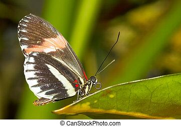 smukke, sommerfugl