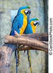 smukke, stor, par, papegøjer, branch