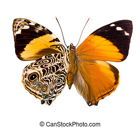 Smyrna Blomfildia butterfly