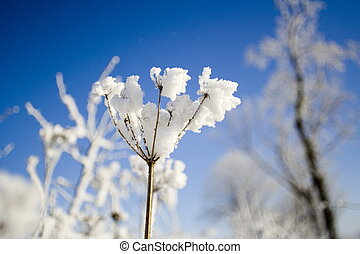 snö, blomma