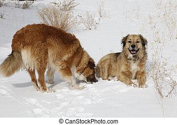 snö, hundkapplöpning