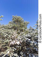 snö täckte, grenverk, och, a, snabel, med, furuträ stift, in, vinter, snöfall, närbilder, och, detaljerna, av, a, skog, in, natur