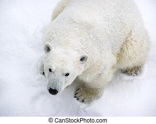 snö täckte, polar björn