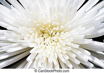 snö vita, krysantemum