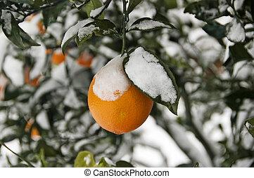 snöig, apelsin träd