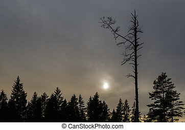 Snag tree in a dark forest - Single dead tree silhouette in...