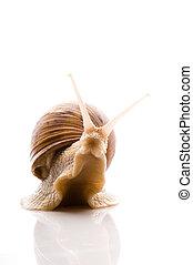 snail., άσπρο , απομονωμένος , ζώο