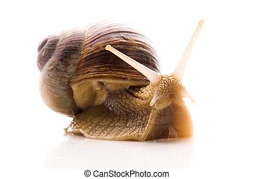 snail., 白色, 被隔离, 動物