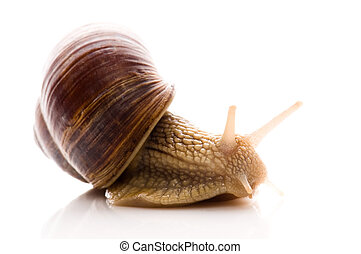 Snail. animal isolated on the white
