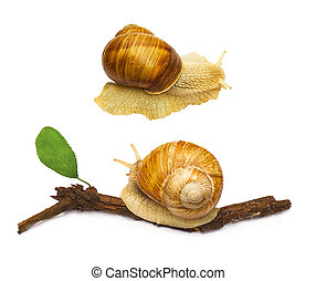 snail animal isolated on white background