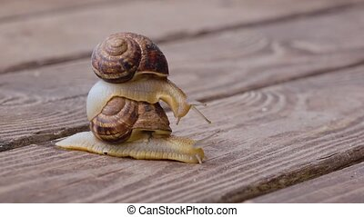 Snail couple make love, close up - Snail couple making love...