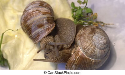 Snail couple meeting and making love beautiful view close up...