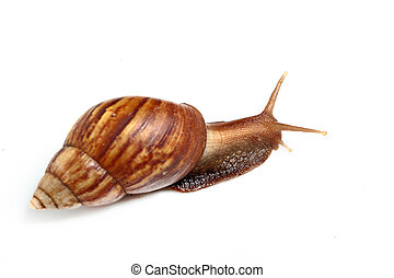 old snail macro focus on head crawling on white floor with gradient backdrop and mild shadow