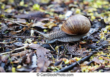 Snail crawling on autumn leaves close up