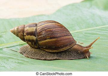snail crawling on green banana leaves